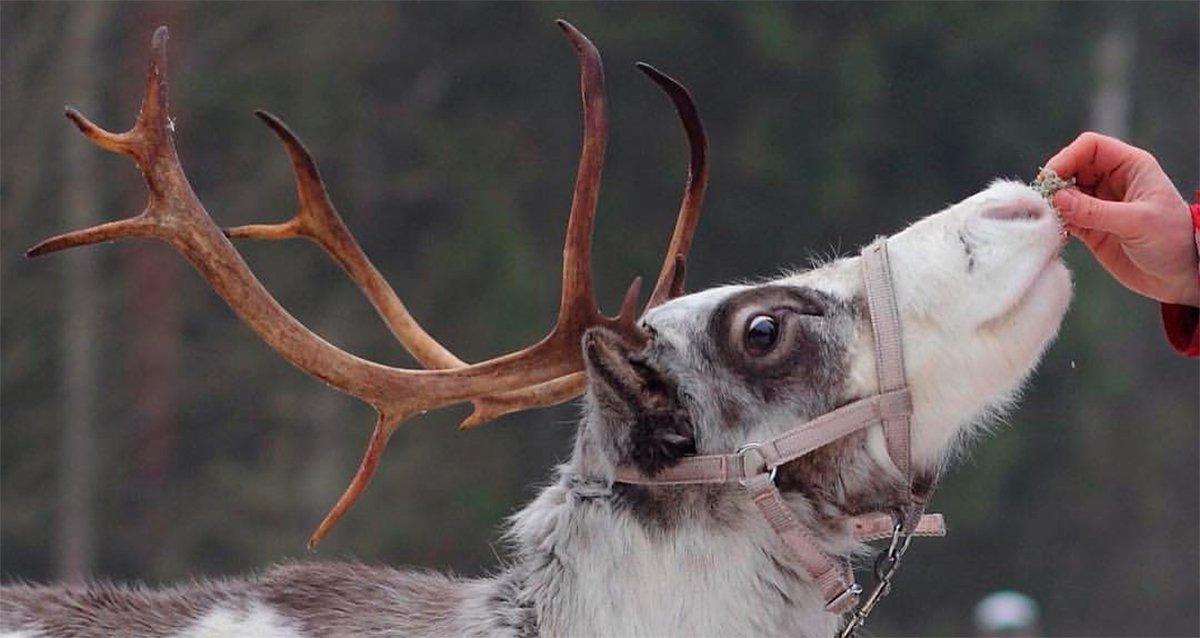 -25% на посещение фермы северных оленей