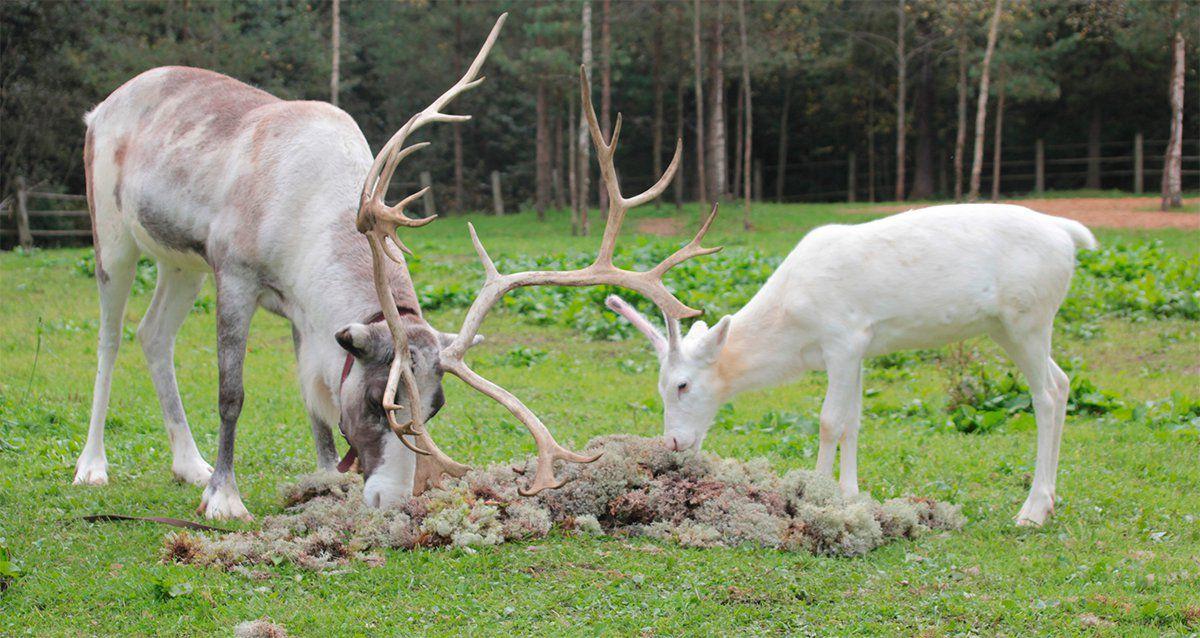 Скидка 50% на посещение фермы северных оленей «Лесная избушка»